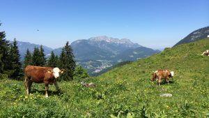 Rinder auf einer Alm bei Berchtesgarden